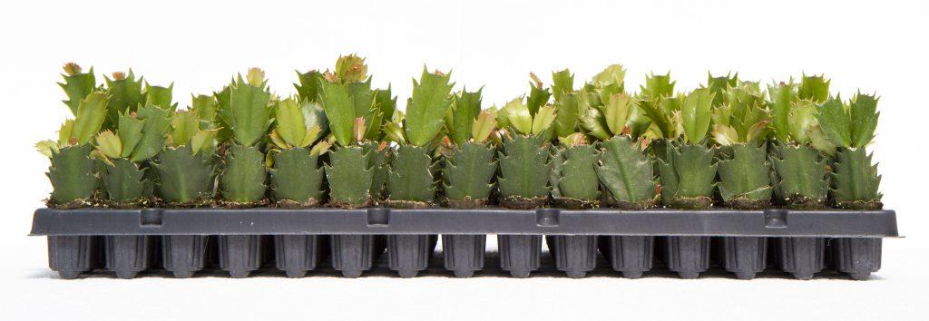 Christmas Cactus Plug Tray