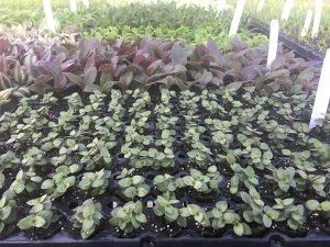 Propagated cuttings in 105 cell trays