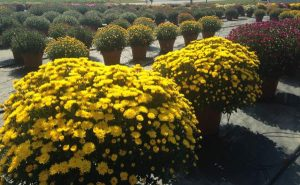 Yellow Belgian Mums growing a field.