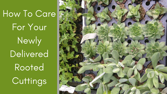 Image for How To Care For Your Newly Delivered Rooted Cuttings