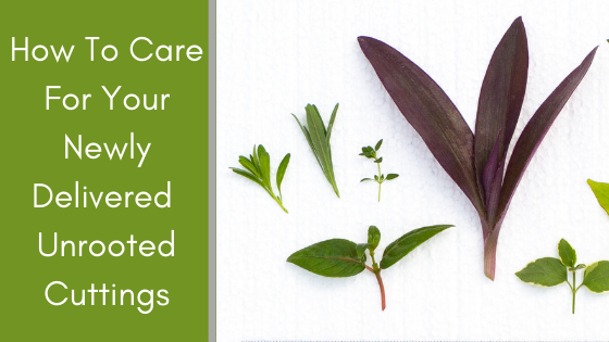 Image for How to Care for Your Newly Delivered Unrooted Cuttings