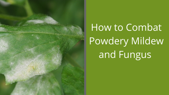 Image for How to Combat Powdery Mildew and Fungus
