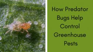 How Predator Bugs Help Control Greenhouse Pests