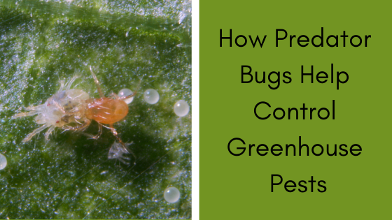 Image for How Predator Bugs Help Control Greenhouse Pests
