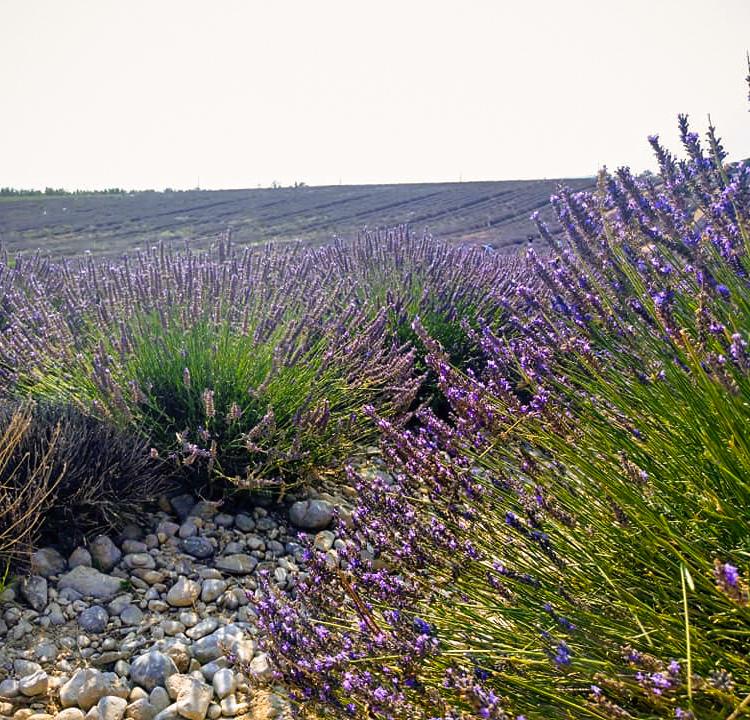 rocky lavender field