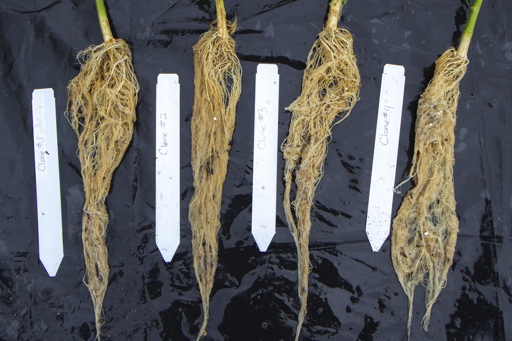 Hemp clone root systems