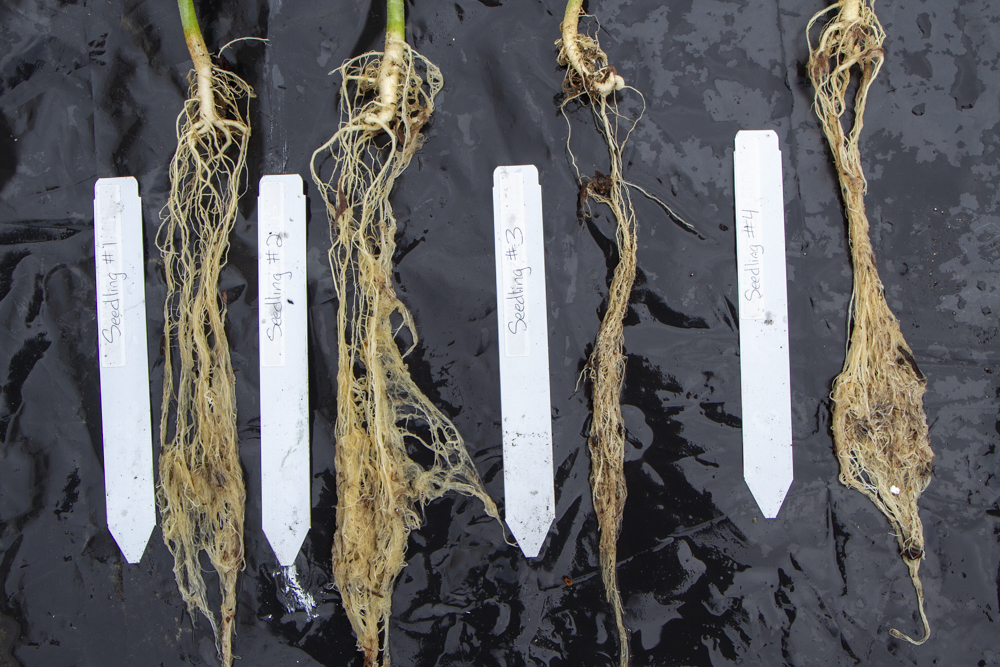 Hemp seedling root systems