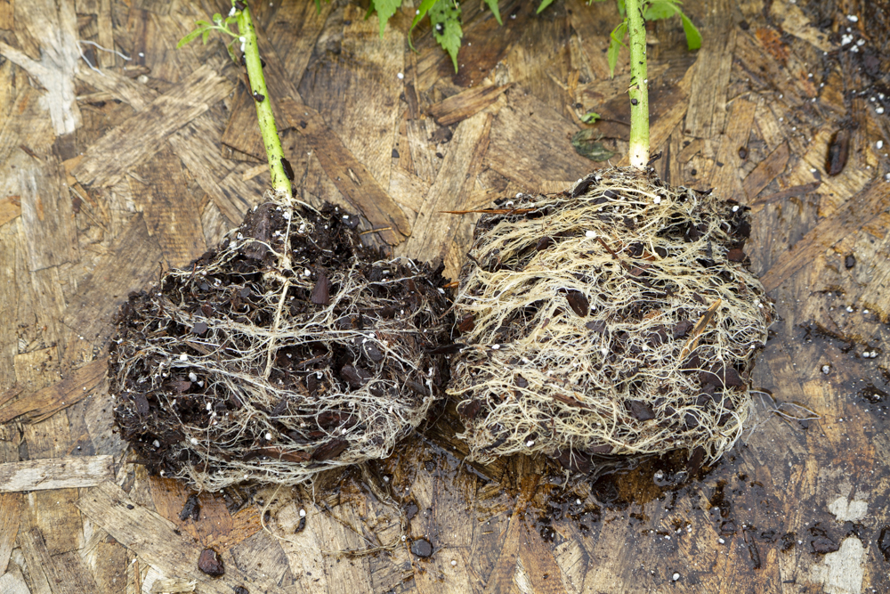 Seedling vs clone root ball close up