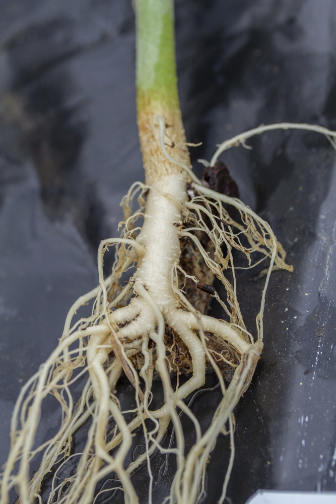 hemp seedling root close up