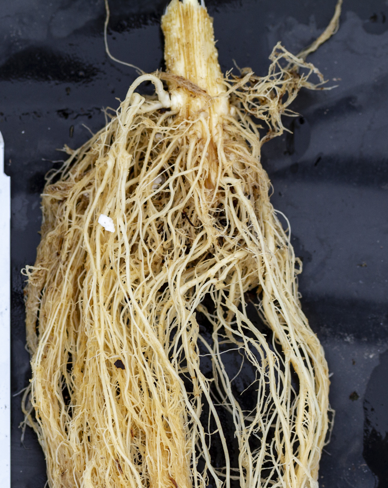 Hemp clone root close