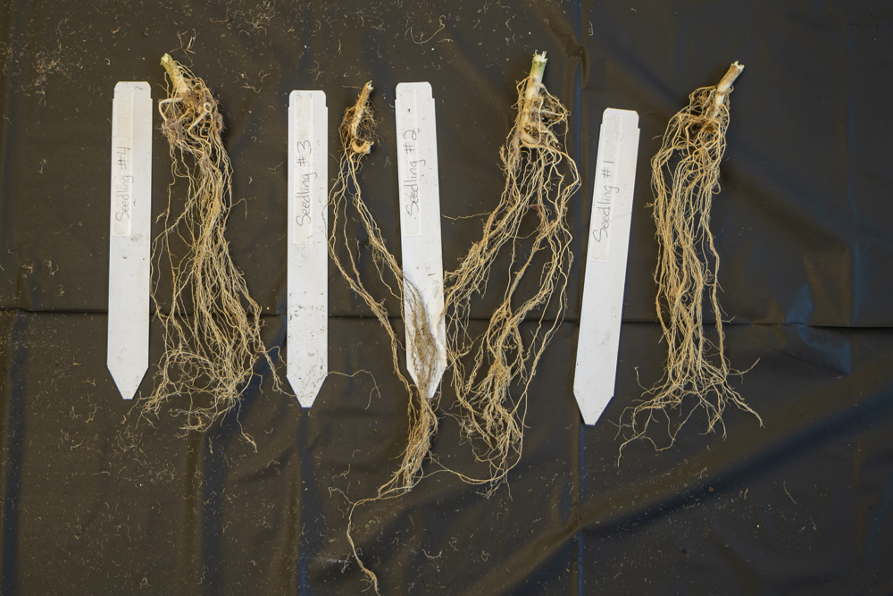 Hemp seedling root structures dry