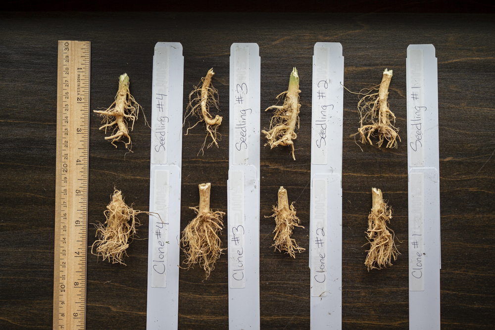 Hemp root seedling vs clone pared down