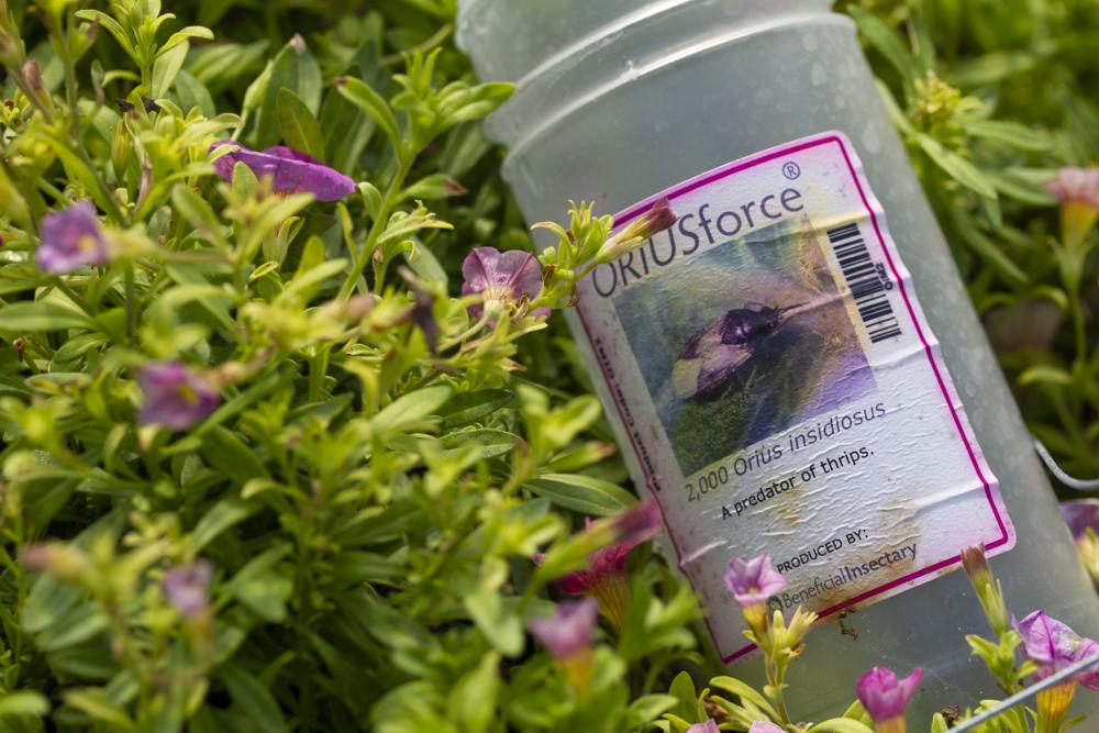 Orius insidiosus jar in calibrachoa plant (beneficial insect)