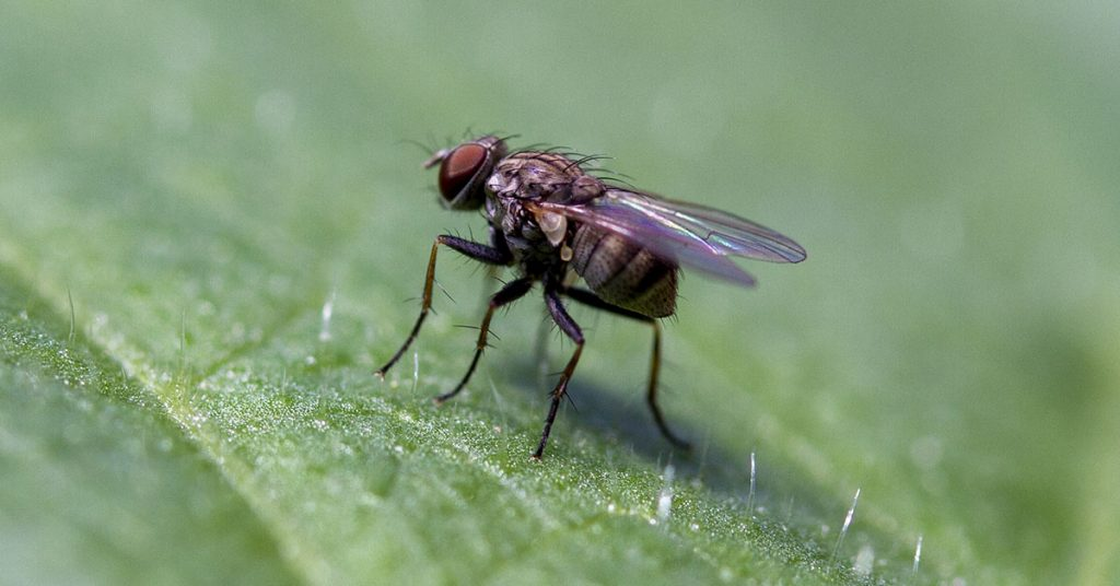 Coenosia attenuata look like small house flies, but they are actually beneficial insects.