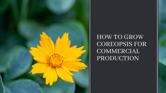Image for How to Grow Coreopsis for Commercial Production