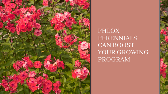 Image for Phlox Perennials Can Boost Your Growing Program