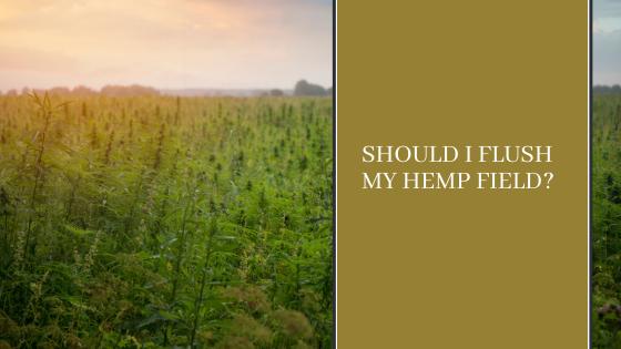 Image for Should I Flush My Hemp Field?