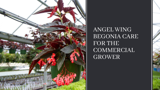 Image for Angel Wing Begonia Care for the Commercial Grower