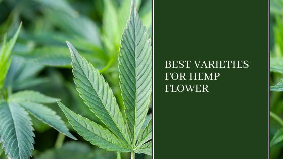 Image for Best Varieties for Hemp Flower