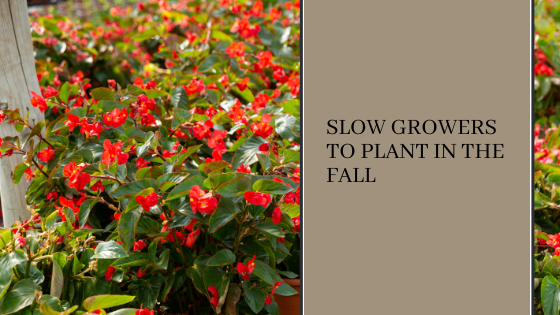 Image for Slow Growers to Plant in the Fall