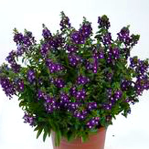 Angelonia Alonia Big Indigo - Rooted Cutting Liner