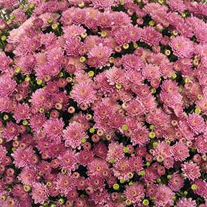 Belgian Mum Akilon Pink - Rooted Cutting Liner