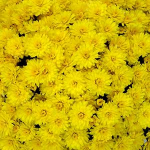 Image Of Belgian Mum Allegra Yellow