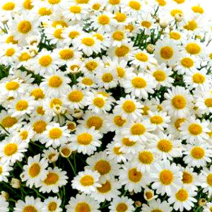 Argyranthemum Alps - Rooted Cutting Liner