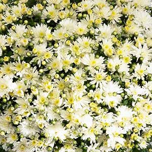 Belgian Mum Aluga White - Rooted Cutting Liner