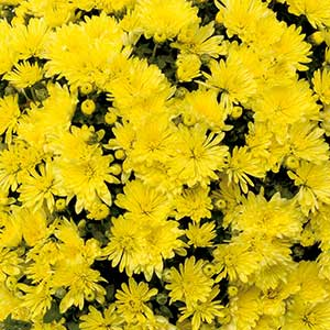 Image Of Belgian Mum Aluga Yellow