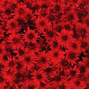 Belgian Mum Amadora Red - Rooted Cutting Liner
