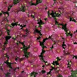 Belgian Mum Amiko Violet - Rooted Cutting Liner