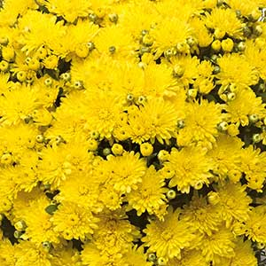 Belgian Mum Amiko Yellow - Rooted Cutting Liner