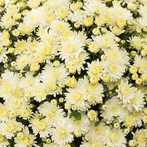 Belgian Mum Amiko White - Rooted Cutting Liner