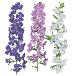 Image Of Angelonia Assorted