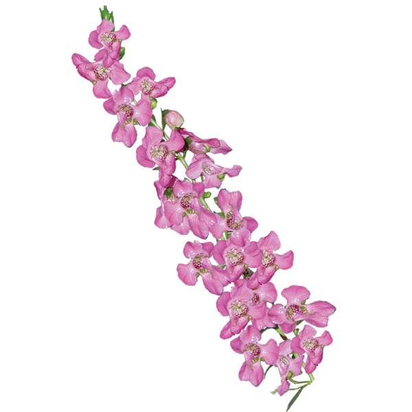 Image Of Angelonia Pink