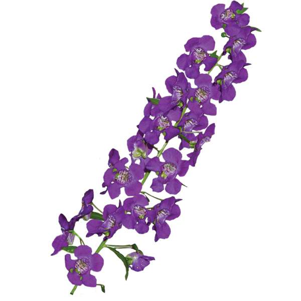 Image Of Angelonia Purple