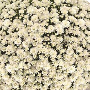Belgian Mum Aramis White - Rooted Cutting Liner