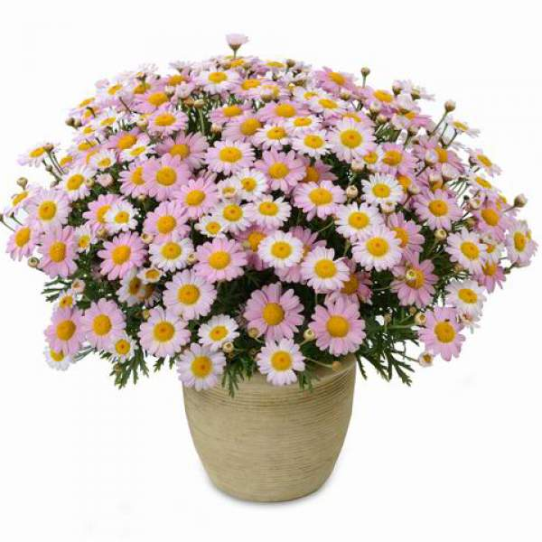 Argyranthemum Angelic Baby Pink - Rooted Cutting Liner