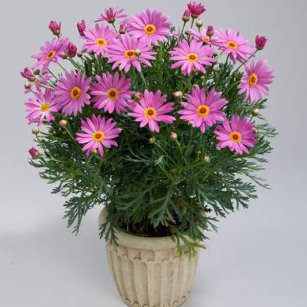 Argyranthemum Angelic Giant Pink - Rooted Cutting Liner