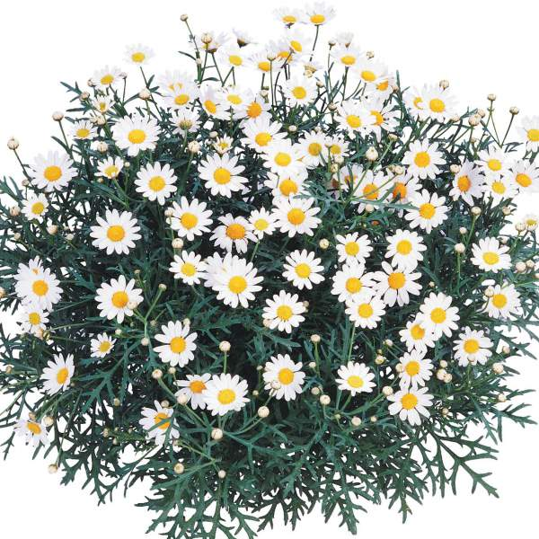 Argyranthemum Beauty Yellow - Rooted Cutting Liner