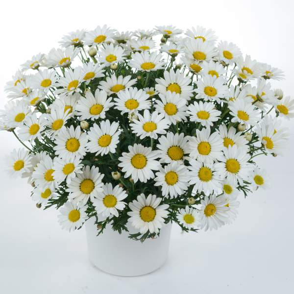 Argyranthemum Everest - Rooted Cutting Liner