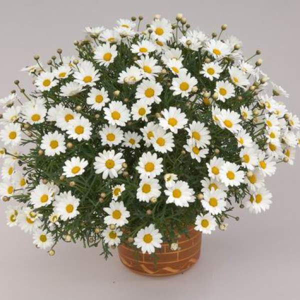 Argyranthemum Mars - Rooted Cutting Liner