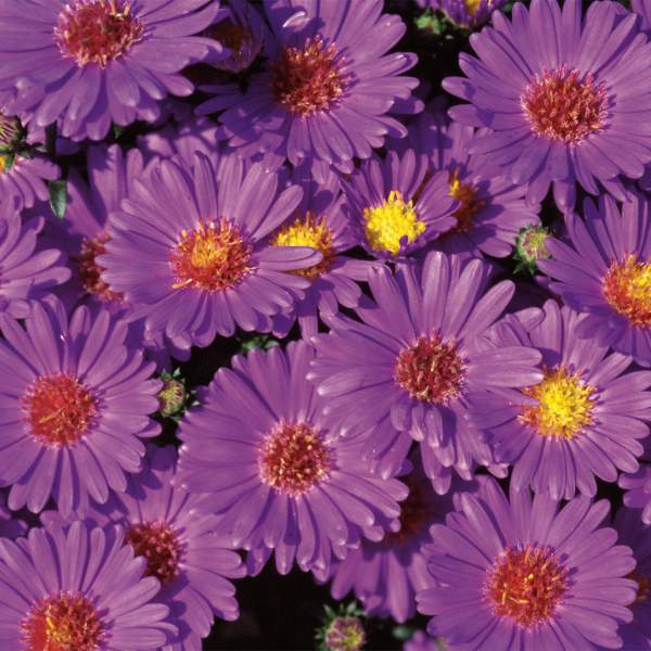 Image Of Aster Believer Purple