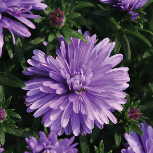 Aster Henry I Blue - Rooted Cutting Liner