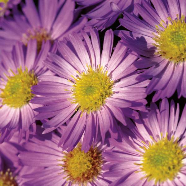 Image Of Asters