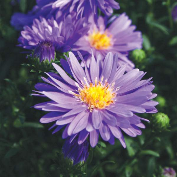 Aster Dragon Blue - Rooted Cutting Liner
