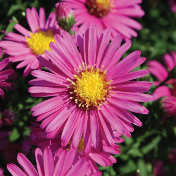 Image Of Aster Hazy