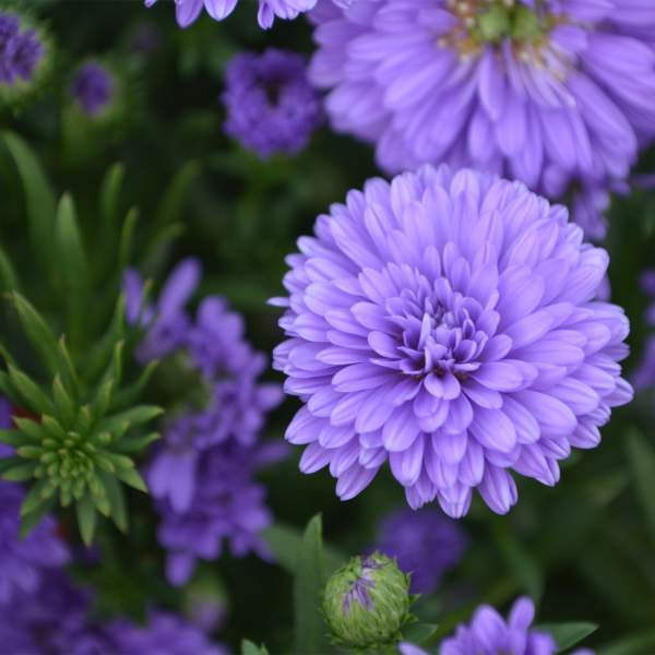 Image Of Aster Henry III Purple