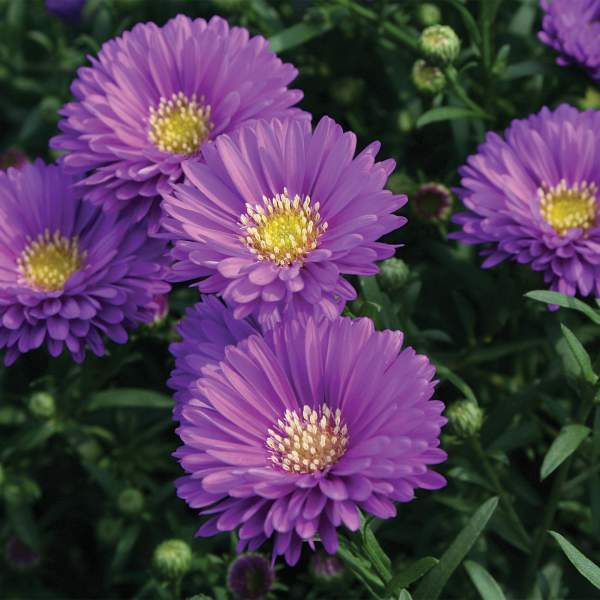 Aster Magic Purple - Rooted Cutting Liner